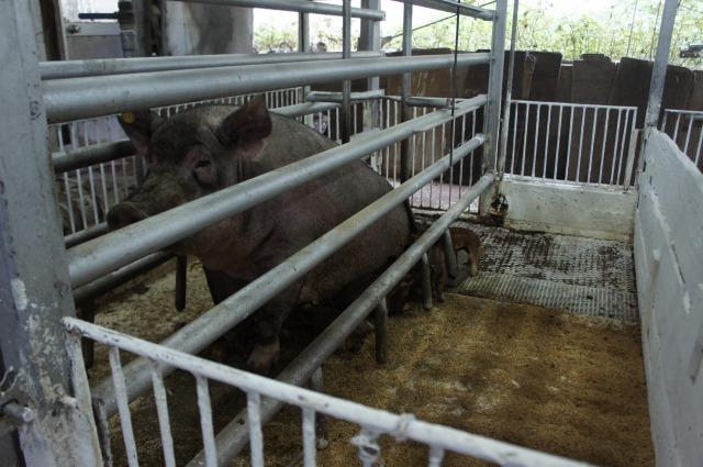 南あわじ「サングリエファーム」見学。「人」と「食」であり「生き物」である豚たちが共に過ごす場所。
